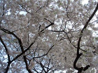 080508syoukawazakura02.jpg
