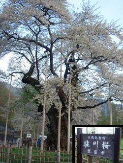 080508syoukawazakura04.jpg